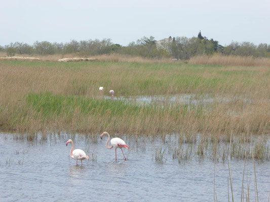 Flamingos in freier Wildbahn