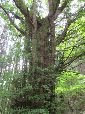 立派なイチョウの木。