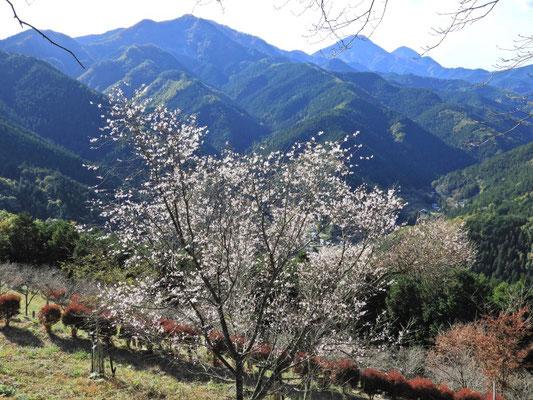山をバックに冬桜が綺麗に咲いてました。