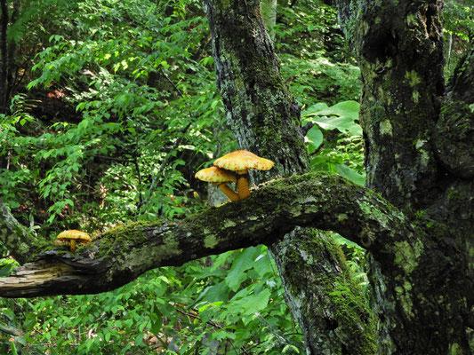 大きなキノコが木の枝に生えてました。食べられるのでしょうか?