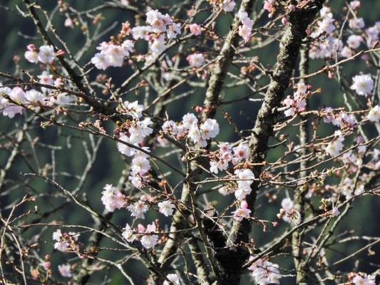 冬桜(十月桜?)