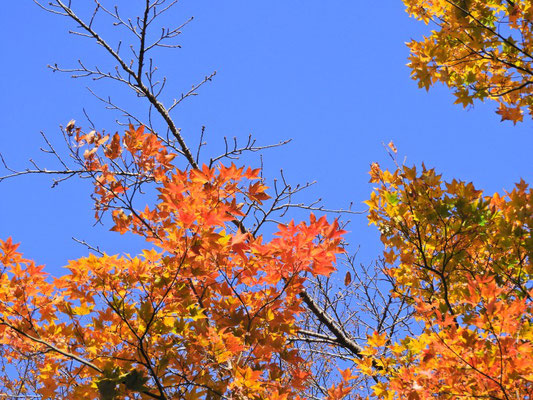 紅葉と青空。