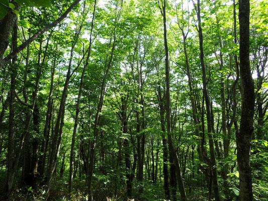 ブナの森です。