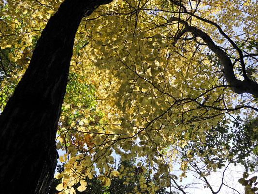 黄色の紅葉も見事。