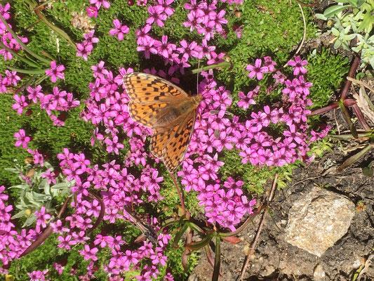 Auch schöne Alpenblumen gibt's da: ein braunfleckiger Perlmuttfalter auf Alpenmannsschild
