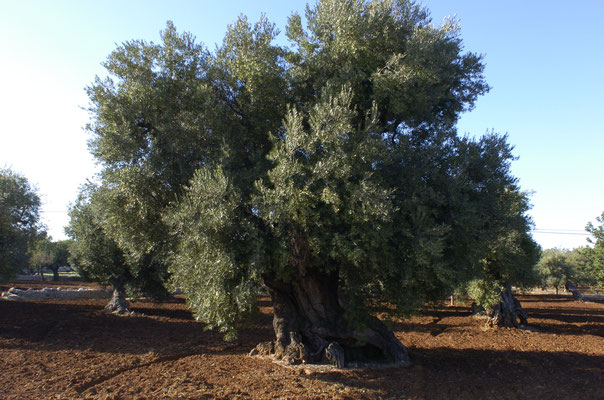 In Puglia there are 60 ML of olive trees, 1 per italian inhabitant.