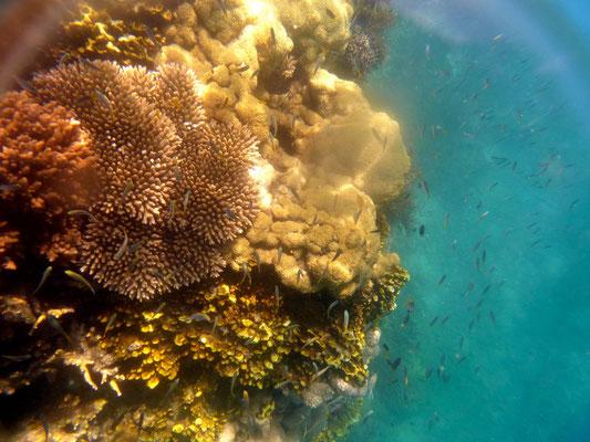 bunte Corallen