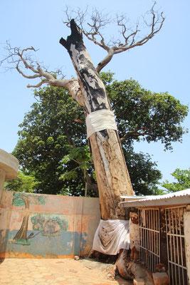 600 jähriger Baum
