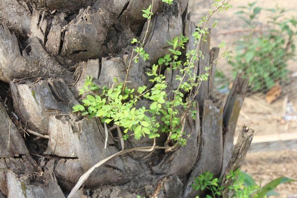 Da sich bei den abgetrennten Blättern viel Staub ansammelt, keimen hier auch andere Pflanzen.