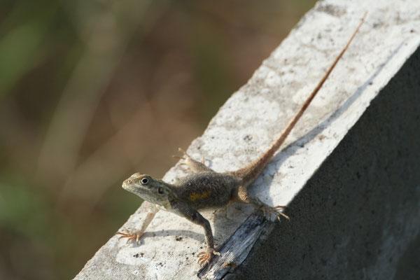 Siedleragame Weibchen