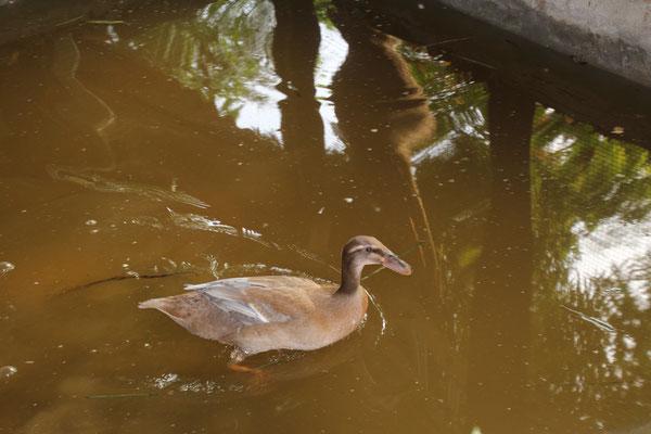 Weibchen beim schwimmen