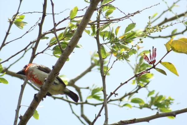 Blutbrustbartvogel