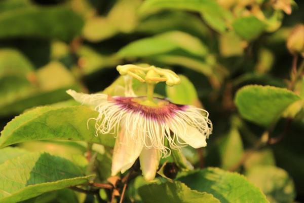 Blüte von der Passionsfrucht