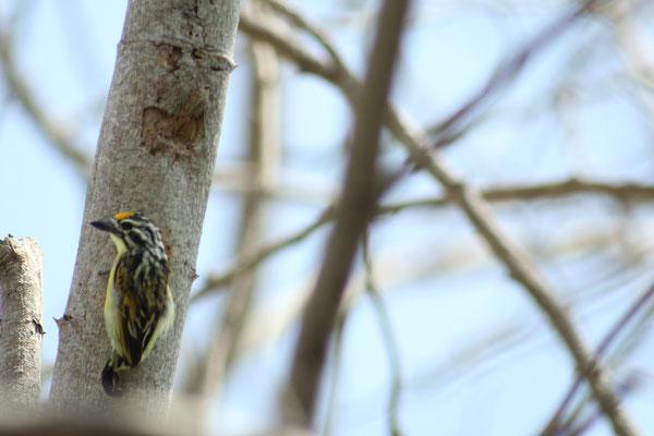 Gelbstirnbartvogel