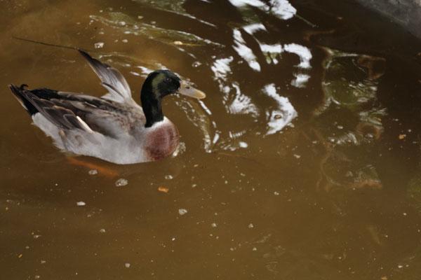 Männchen beim schwimmen