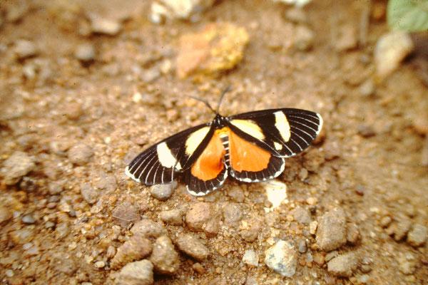 36. Schmetterling