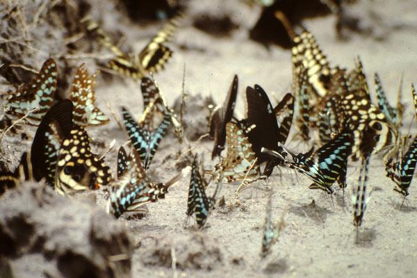37. Schmetterlinge im Bouafle Nationalpark.