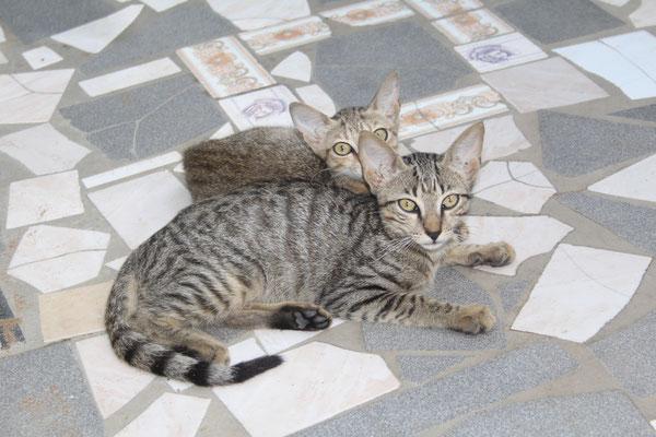 Zwei der  Jungen Katzen vom letzten Jahr. Die hintere ist auch veschwunden.
