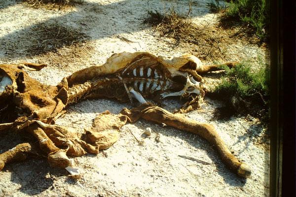 8. Keine 50 m neben unserem Nachtlager, lag ein toter Esel.