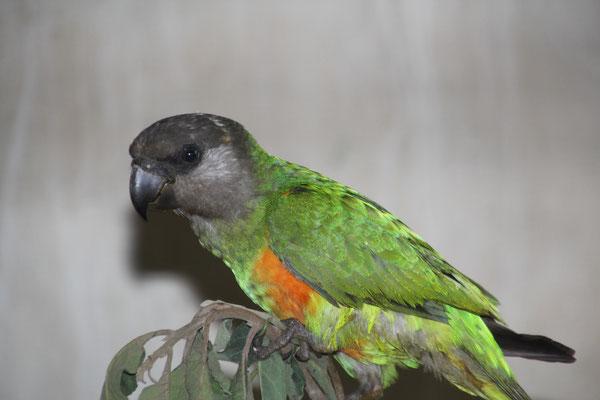 Perroquet Youyou (Mohrenkopfpapagei)