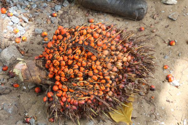 Frisch geerntetes Palmöl. Die rote Färbung hat es wegen dem Carotin.
