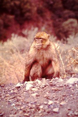 29. Berberaffe. Solche Affen wurden auch in Gibraltar angesiedelt.