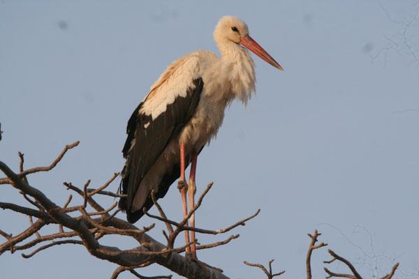 Weiss Storch