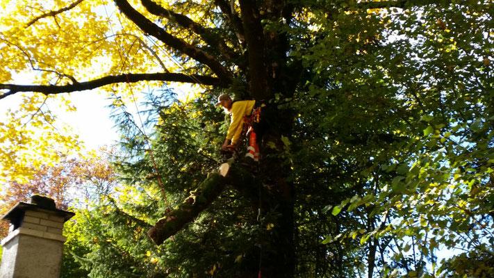 Problembaum beim Ferienhaus, die dürren Aeste beschädigen beim herunterfallen das Dach. Wir sägen dem Baum die gefährlichen Teile ab und lassen sie langsam am Seil herab.
