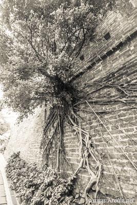Вросшее в стену дерево. Воздух такой влажный, что корни пьют воду прямо из него. Зачем им земля?