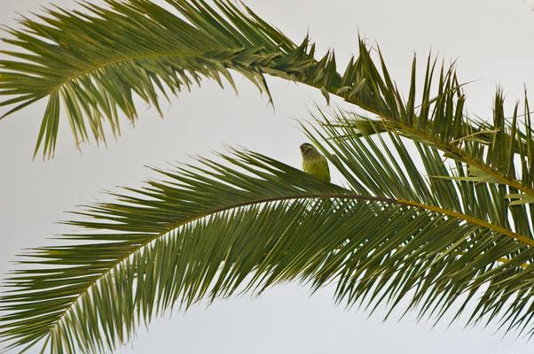 Зеленый попугай, маскирующийся в пальме
