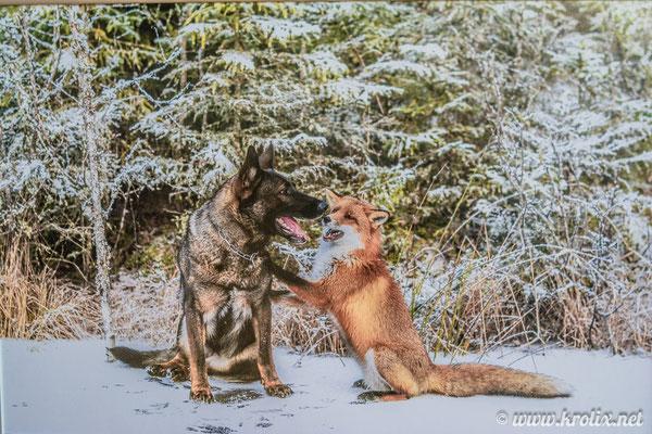 """Фото про """"историю дружбы"""" овчарки и лисицы. Там была целая фотоистория на стенде про них."""