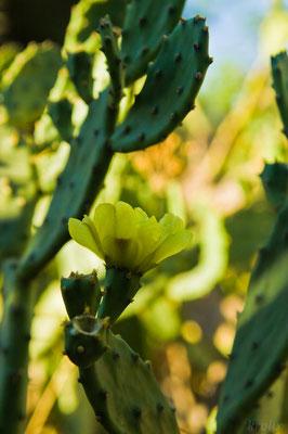 Еще один цветущий кактус