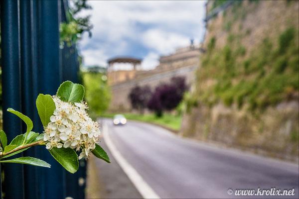 8. За забором прямо у дороги цветут римские яблони!