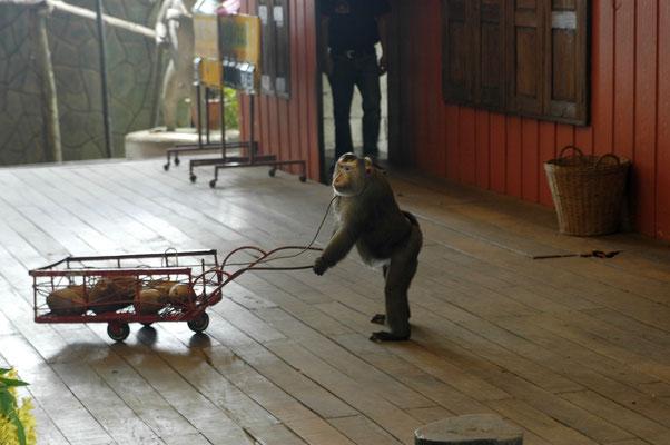 Нет, ошейник не для того, чтобы тележка не укатилась или обезьянка не убежала. Туда подаются короткие 380-вольтные импульсы.