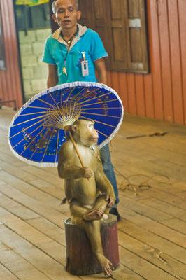 Шимпанзе защищается зонтом от плюющего в него сзади начальника