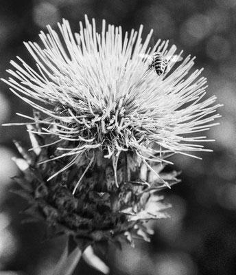 die Biene und die Blüte
