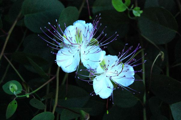 verschwenderische Kapernblüte