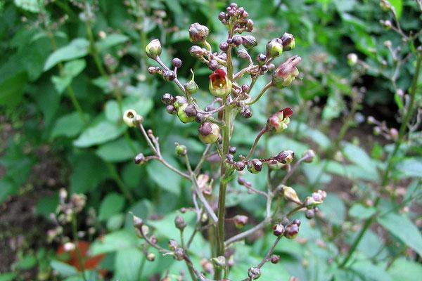 Braunwurz (Scrophularia nodosa)