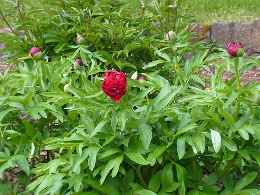 Pfingstrose (Paeonia officinalis)
