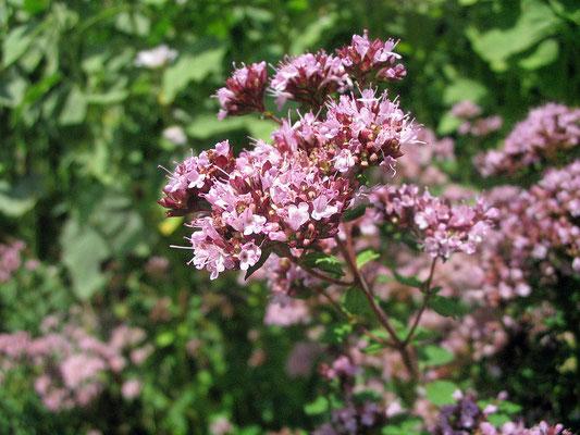 Dost (Origanum vulgare)