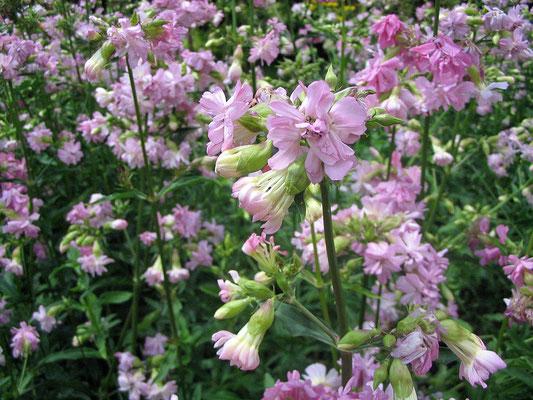 Seifenkraut (Saponaria officinalis)