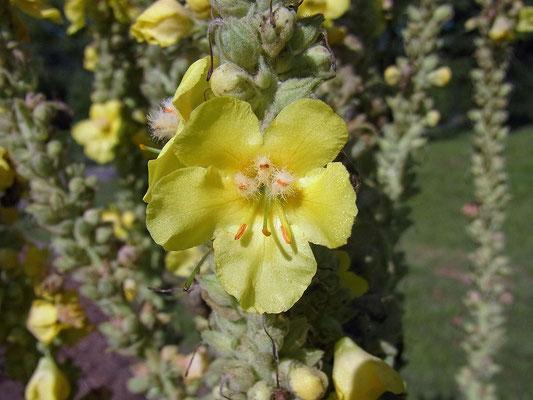 Königskerze (Verbascum densiflorum)