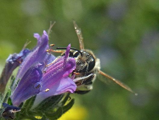 Biene an Natternkopf