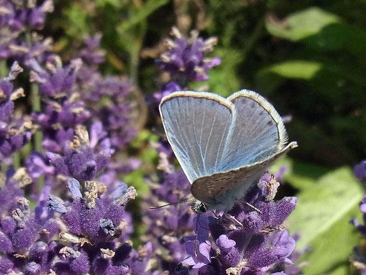 Hauhechel-Bläuling auf Lavendel