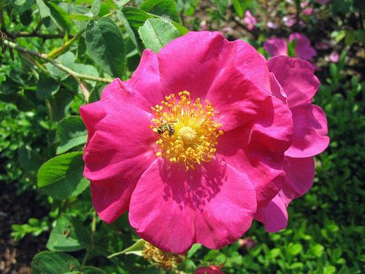 Essigrose (Rosa gallica)