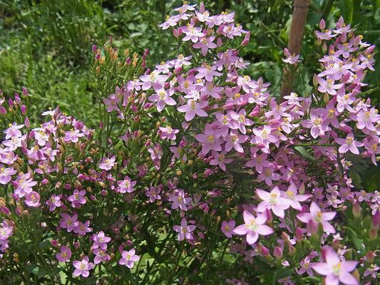 Tausendgüldenkraut (Centaurium erythraea)