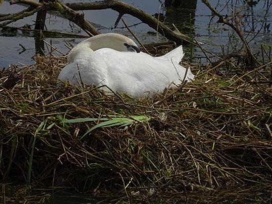 cygne sur son nid