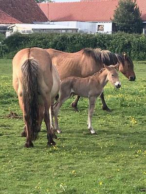 Nos chevaux d'élevage Henson
