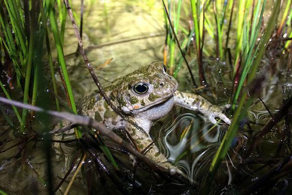 JUNI 2015 - Die Kreuzkröte ( seltenstes Amphibien Österreich's)
