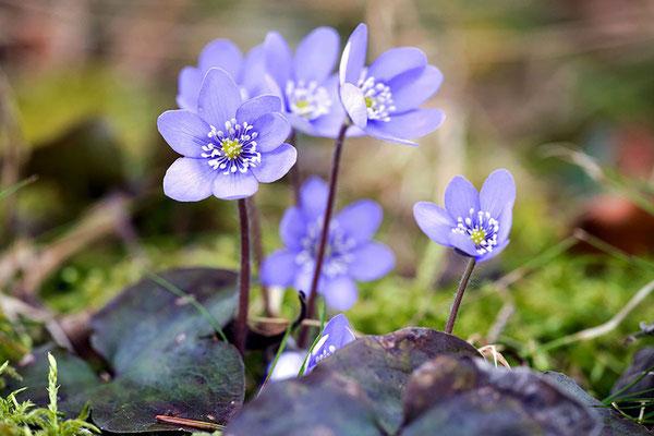 MÄRZ 2015 - Die ersten Frühlingsboten das Leberblümchen